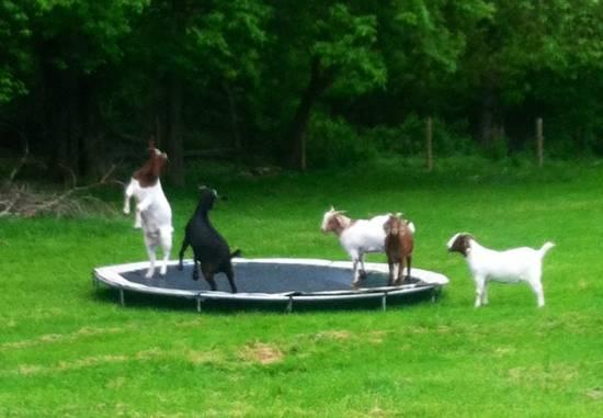 Ces chèvres vont vous surprendre par leurs acrobaties