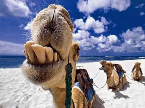 cute_camel_06