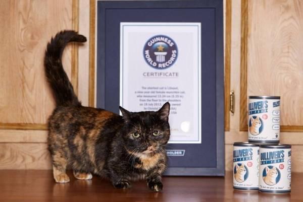7-–-O-gato-mais-baixinho-do-mundo