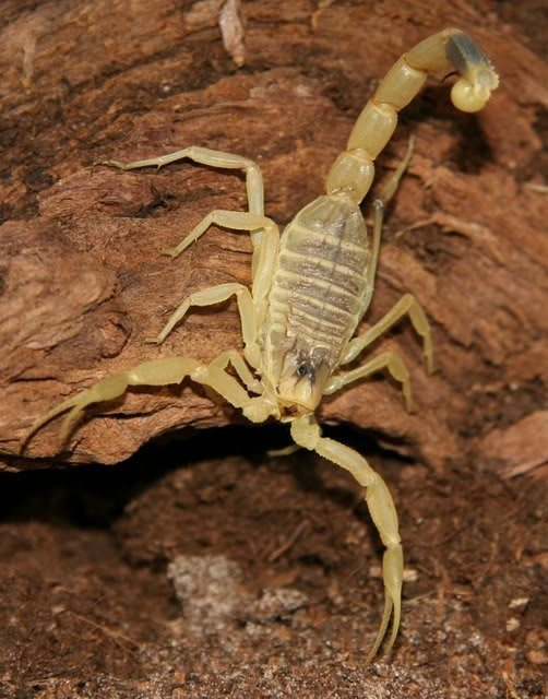 scorpione-giallo