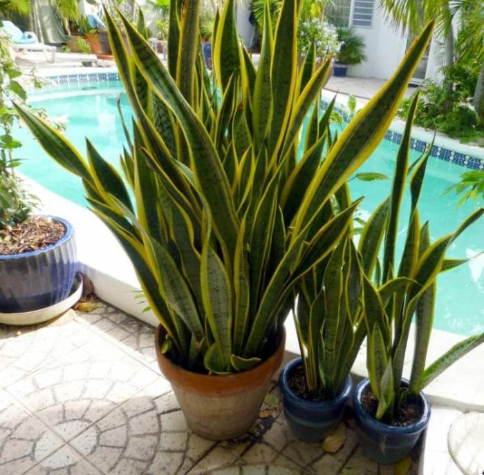 Plantes int rieur plante serpent terrasse piscine afrizap for Plantes pour terrasses