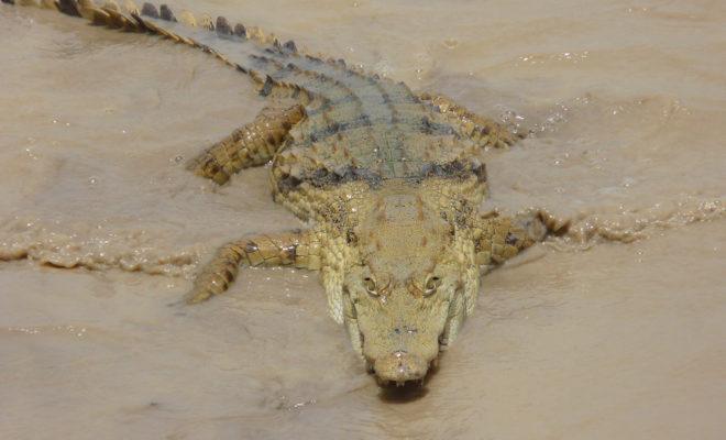 crocodile benin